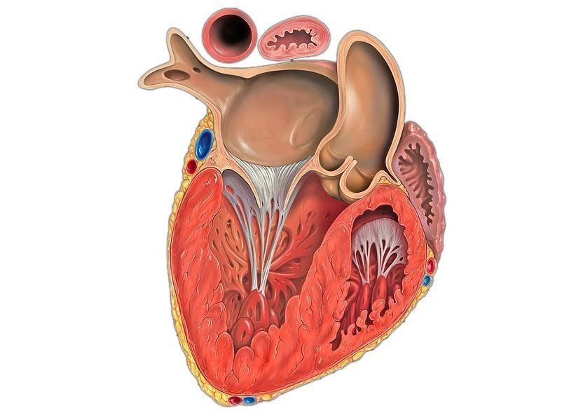 здесь желудочек сердца картинка словам