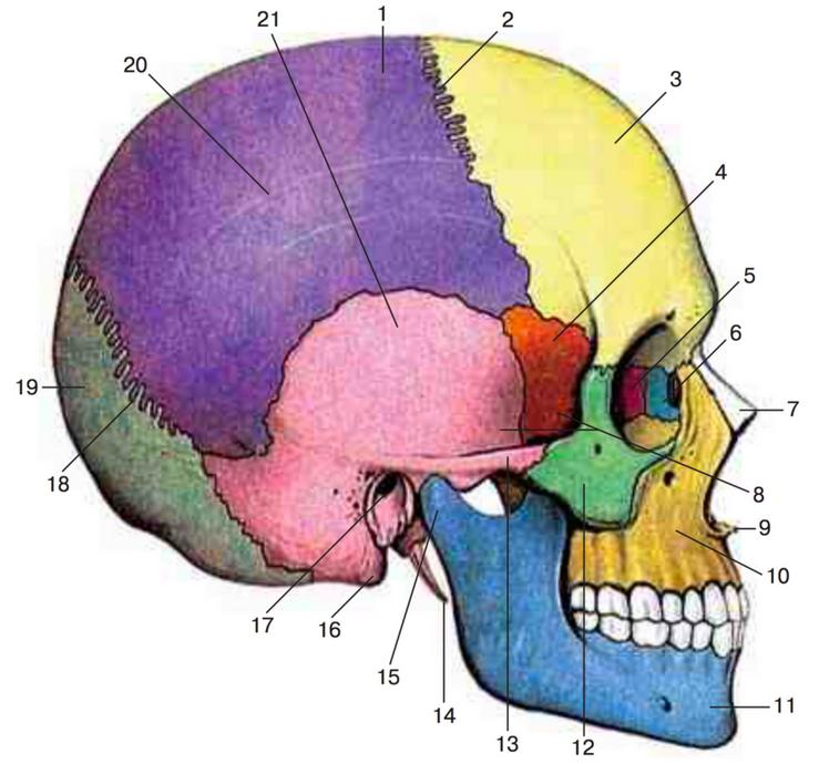 гипсокартоном строение человеческого черепа с картинками воспоминаниям