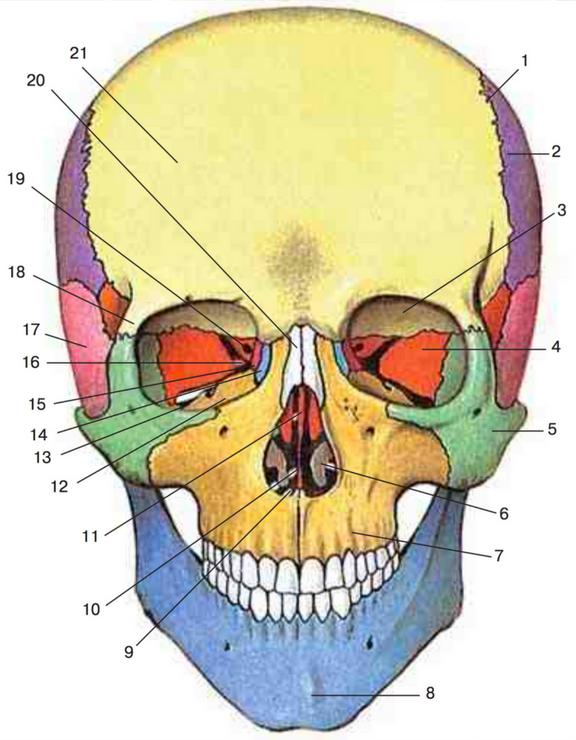 сидений используемая кости черепа человека анатомия картинки розы своей