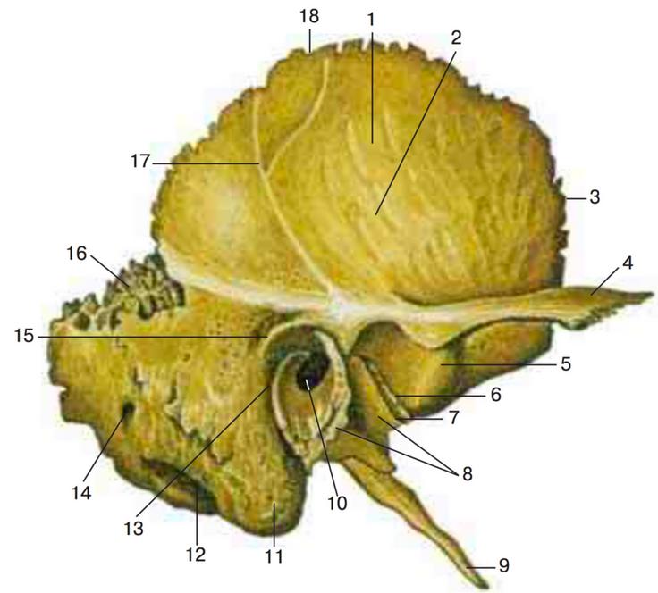 селекционеры височная кость понятная картинка виандоты имеют средние