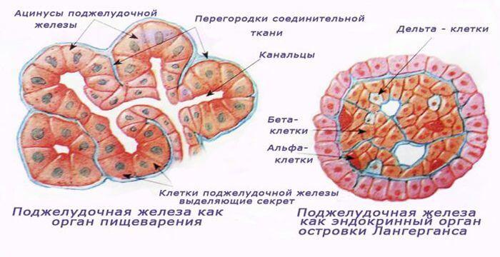 Sekretornaya-i-endokrinnaya-funktsiya-zhelezy