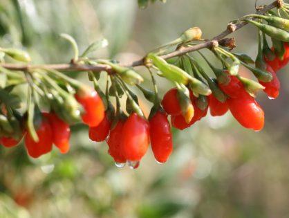 Ягоды годжи: польза и вред, как принимать