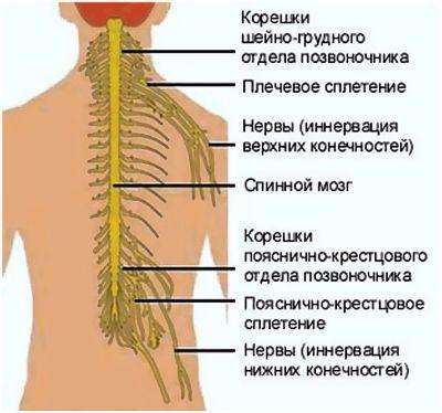 Защемление нервов позвоночника