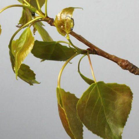 Дерево тополь (125 фото) - описание дерева от А до Я. Виды, посадка, уход, применением в ландшафтном дизайне