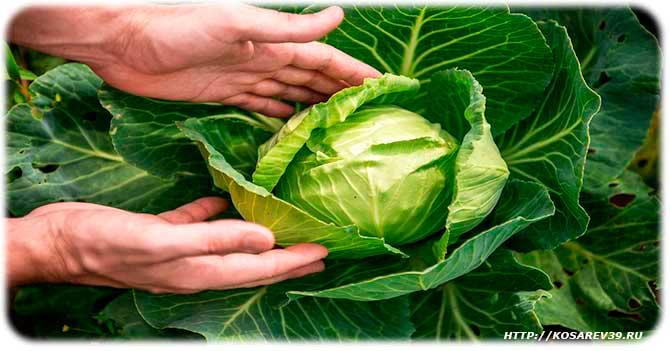 Полезный состав капусты