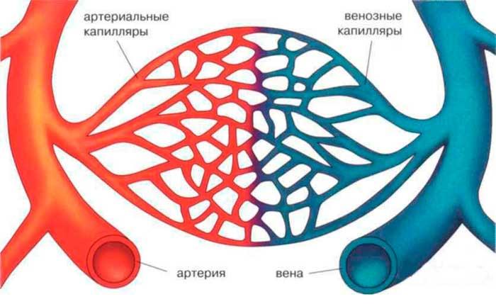 капилляры человека